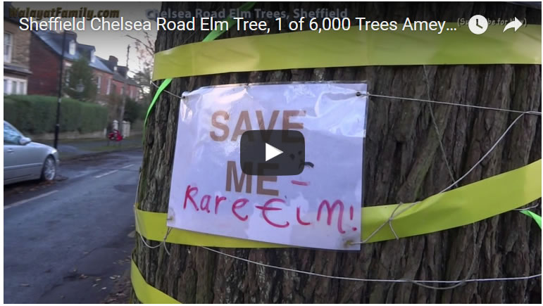 Sheffield Chelsea Road Elm Tree, 1 of 6,000 Trees Amey / City Council to Fell