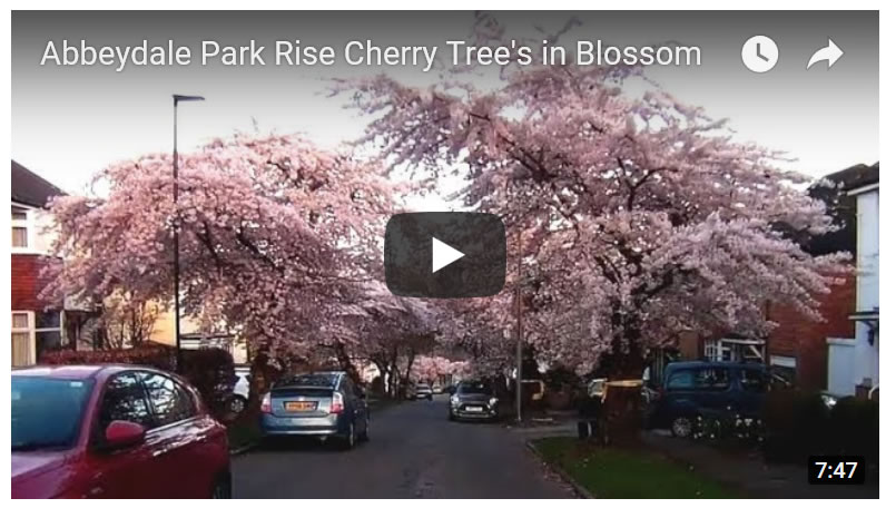 Abbeydale Park Rise Cherry Tree's in Blossom - Sheffield Street Tree Protests