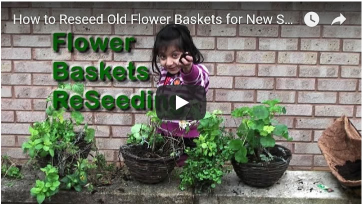 Gardening Money Saving by Reseeding Spent Flower Baskets for New Summer Growth