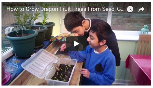 How to Grow Dragon Fruit Trees From Seed, Germinate and Growth Over 1 Year UK