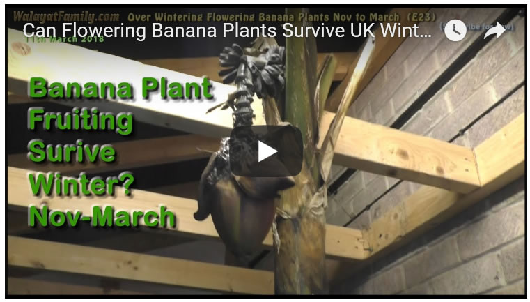 Can Flowering Banana Plants Survive UK Winter Nov to March 2018? (Musa Basjoo) (E23)