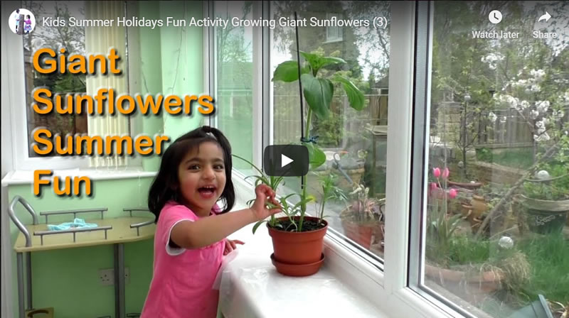 Kids Summer Holidays Fun Activity Growing Giant Sunflowers (3)