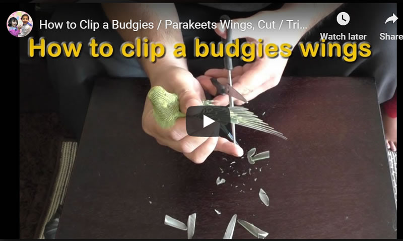 How to Clip a Budgies / Parakeets Wings, Cut / Trim Bird's Flight Feathers