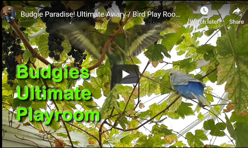 Budgie Paradise! Ultimate Bird Play Room! How to do for FREE!