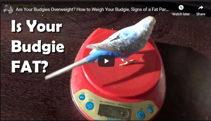 Are Your Budgies Overweight? How to Weigh Your Budgie, Signs of a Fat Parakeet