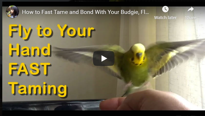 How to Fast Tame and Bond With Your Budgie, Fly to Your Hand