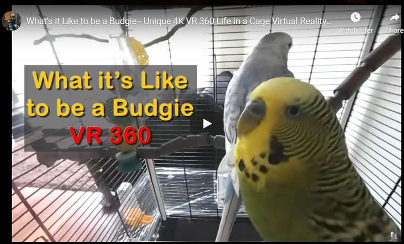 What's it Like to be a Budgie - Unique in a Cage 4K VR 360