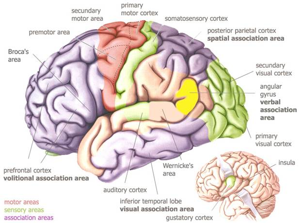 Brain diagrams lessons tes teach intuitive trading fact or fiction part 1 the market oracle ccuart Image collections