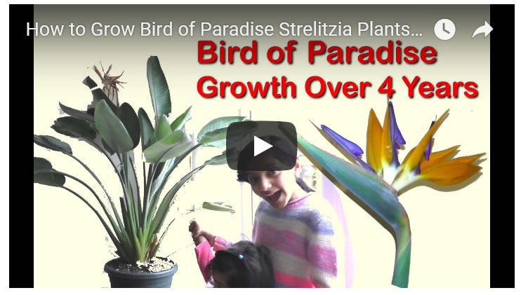 Growing Strelitzia Bird of Paradise Plants, Pruning and Flower Guide over 4 Years